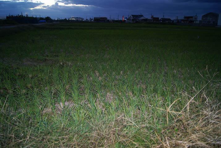 111120 刈り取った稲の跡.jpg
