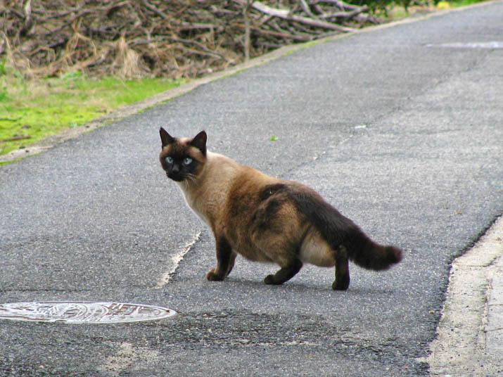 111207 喧嘩していたシャム猫.jpg