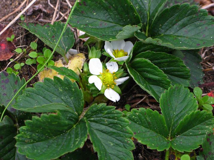111208 イチゴの花.jpg