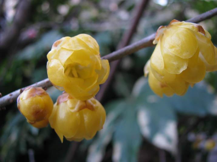 120122 庭に咲いていた蝋梅 .jpg
