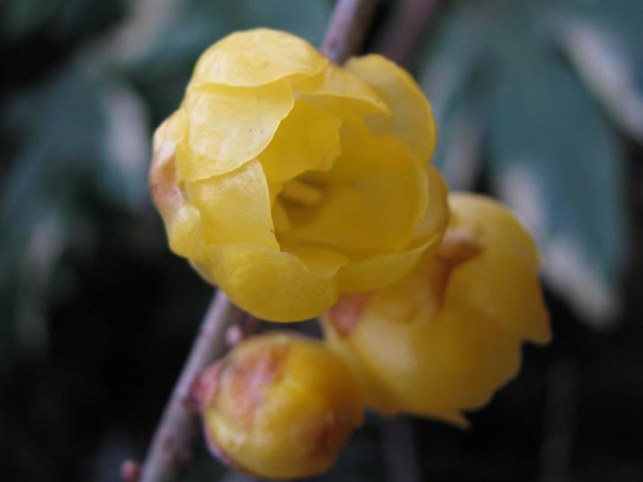 120122 黄色い蝋梅.jpg