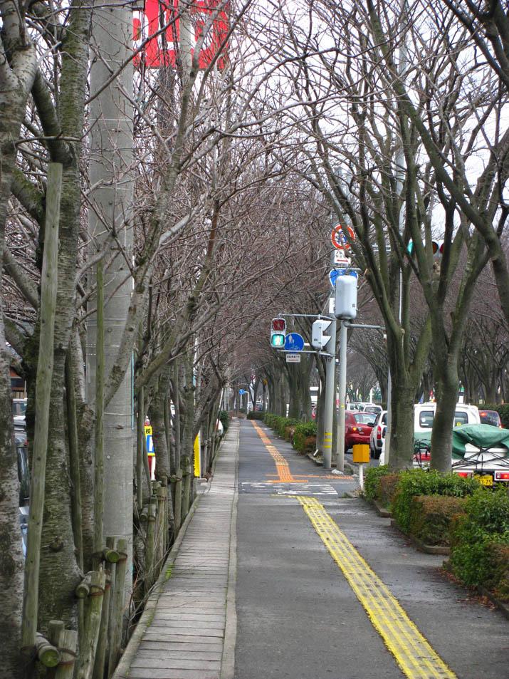 120211 ケヤキとサクラの歩道.jpg