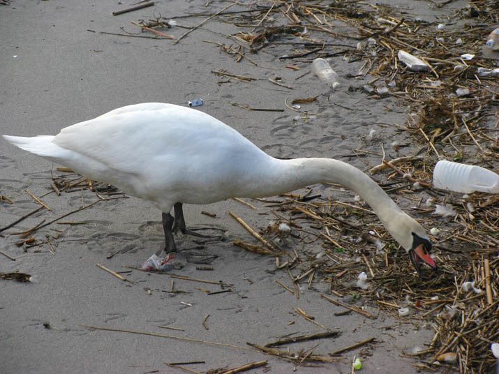 120229 白鳥がゴミあさり.jpg