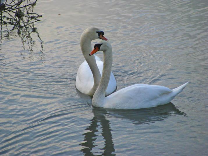120229 淀江の白鳥.jpg
