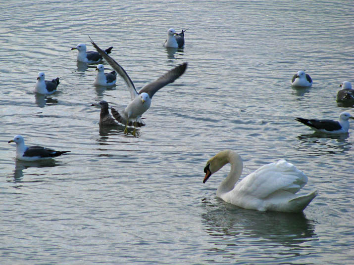 120302 カモメと白鳥.jpg