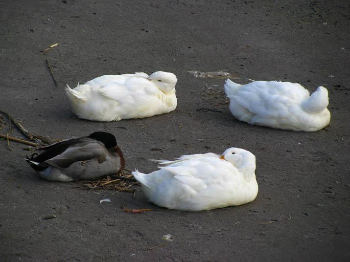 120304 眠るアヒルと鴨.jpg