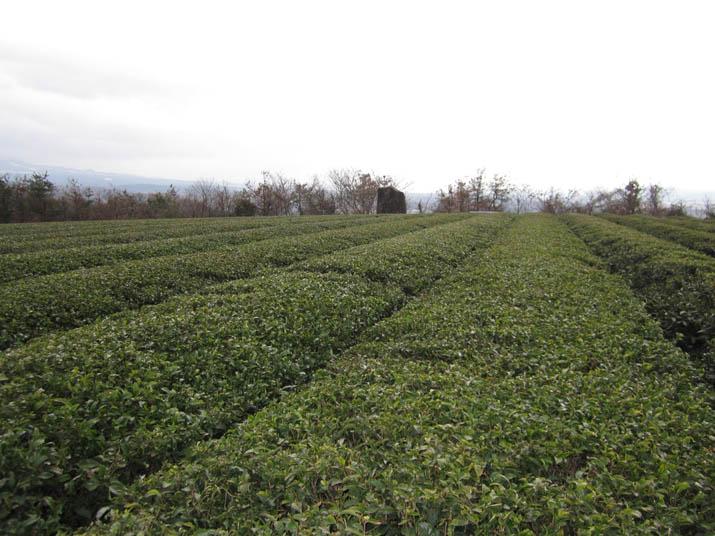 120307 壺瓶山の茶畑.jpg