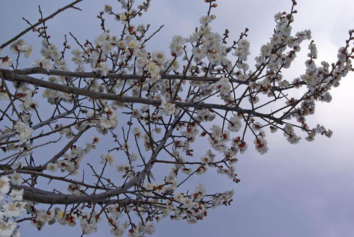 120314 旧米子ハイツの白い梅.jpg