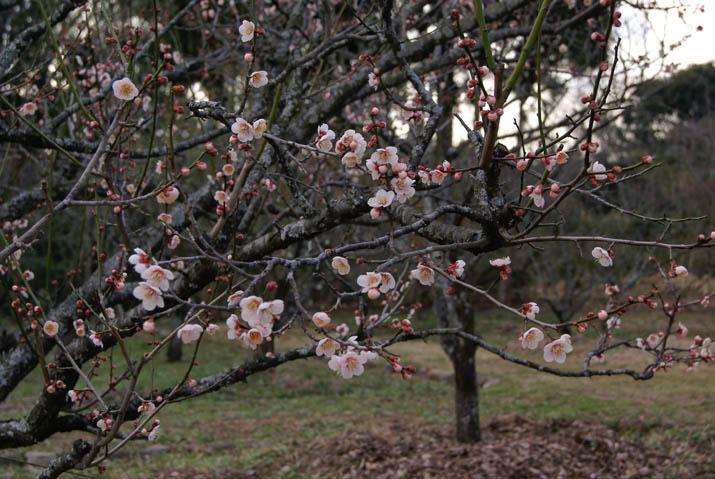 120315 白い梅の花と蕾.jpg
