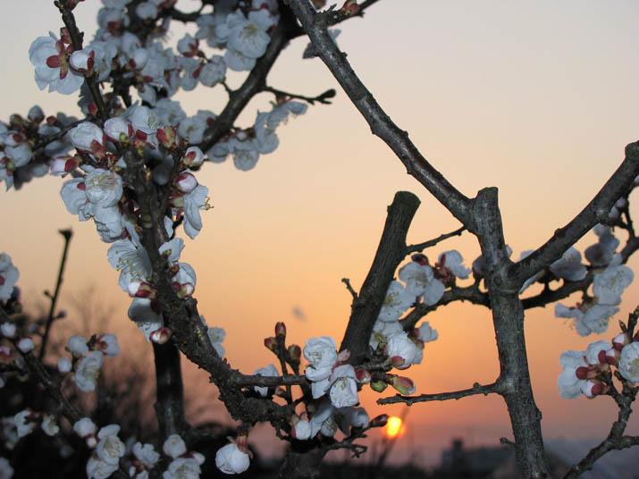 120331 夕日と梅の花.jpg