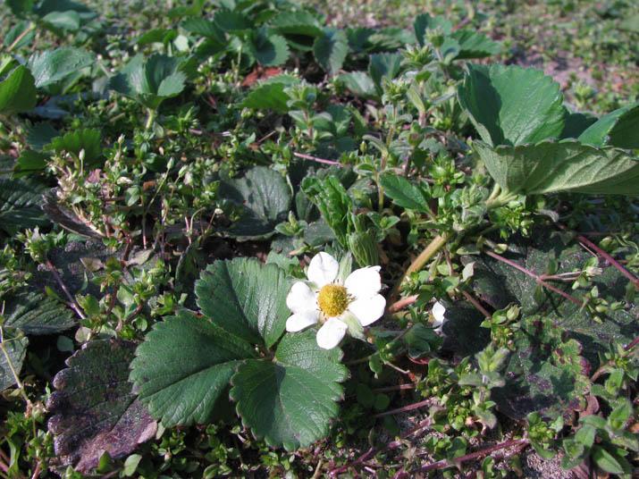120405 苺の花.jpg