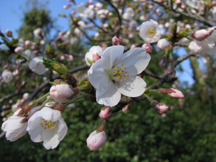 120406 桜の開花.jpg