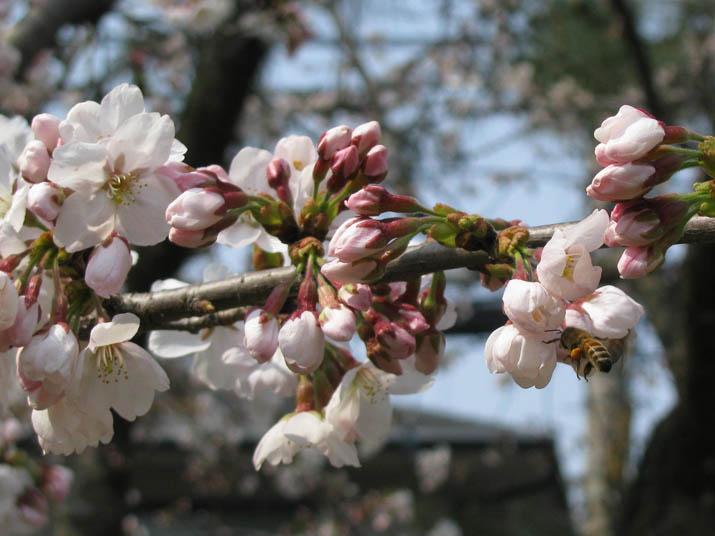 120408 桜とミツバチ.jpg