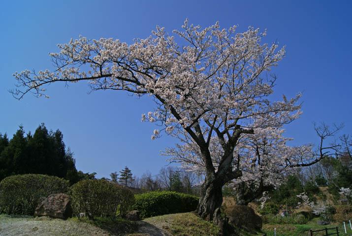 120412 大きく広がる岡成池の桜.jpg