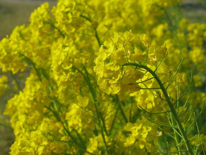 120417 小松菜の花.jpg