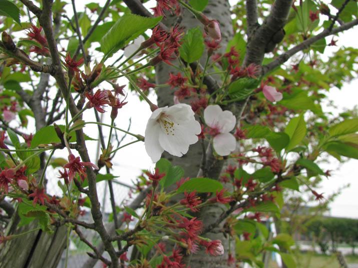 120420 桜の名残と若葉.jpg