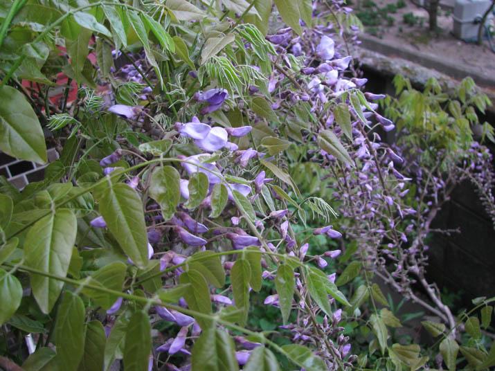 120425 藤の花の葉.jpg
