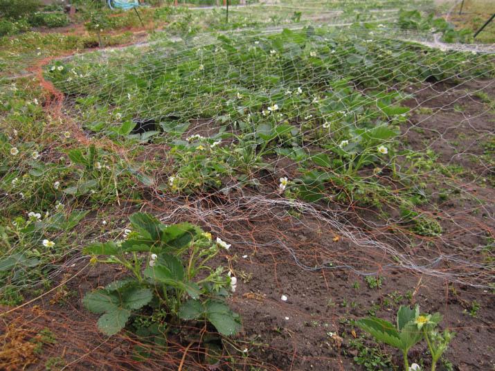 120429 収穫時期が近い苺.jpg