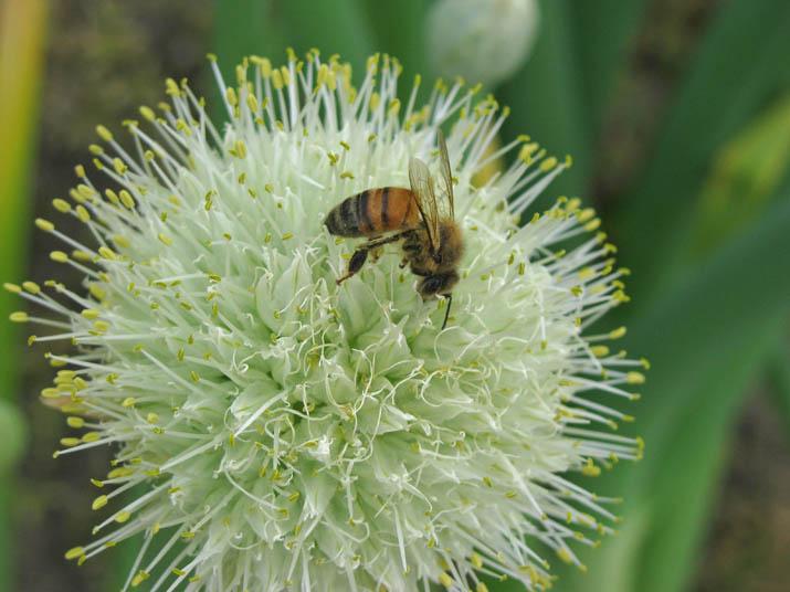 120501 葱坊主にミツバチ.jpg