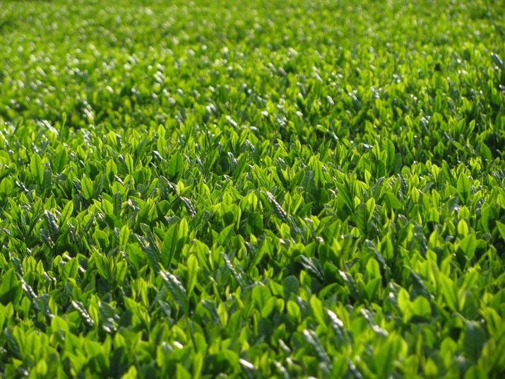 120505 壺瓶山茶の新芽.jpg