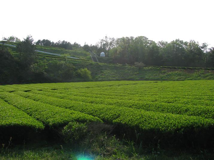 120505 壺瓶山の茶畑.jpg
