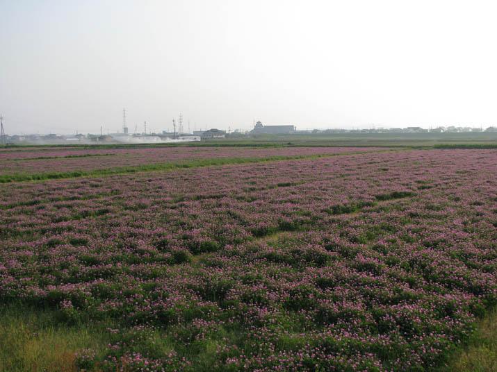 120507 レンゲの花が咲く畑.jpg