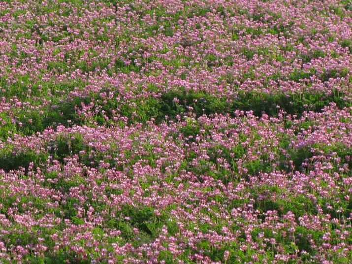 120507 レンゲの花.jpg
