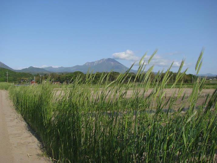 120512 麦の穂と快晴の大山.jpg