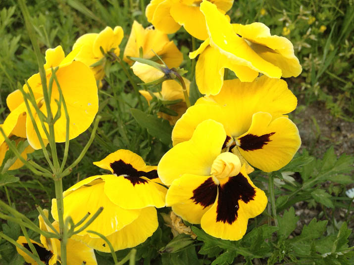 120513 黄色い花.jpg