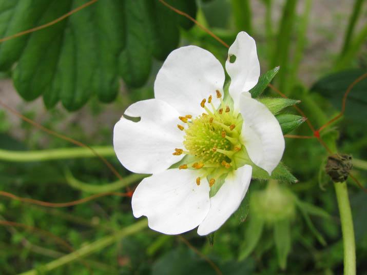 120514 苺の花.jpg
