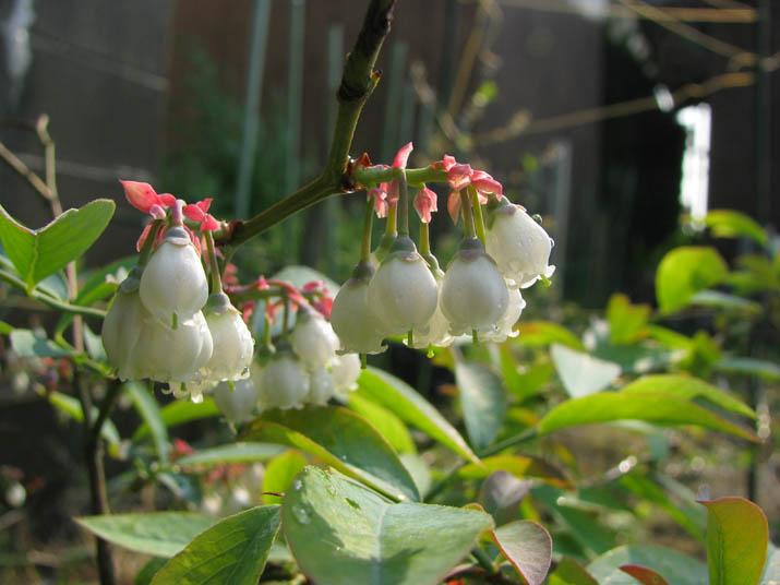 120516 ブルーベリーの花.jpg