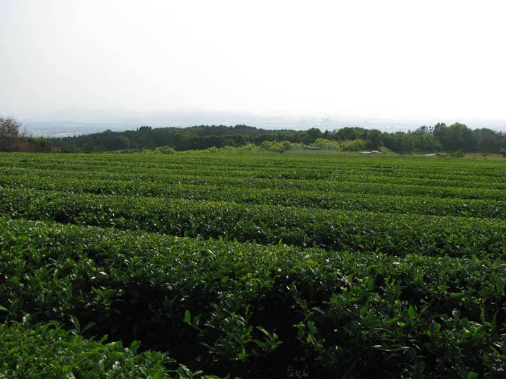 120531 茶畑と白い米子市街.jpg