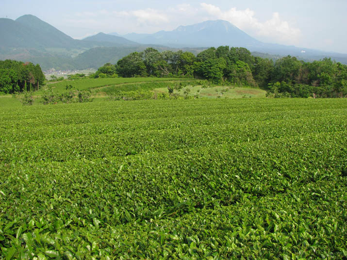120531 若草色のお茶畑.jpg