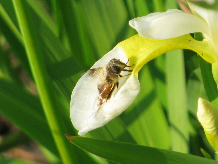 120604 白い花とハチ.jpg