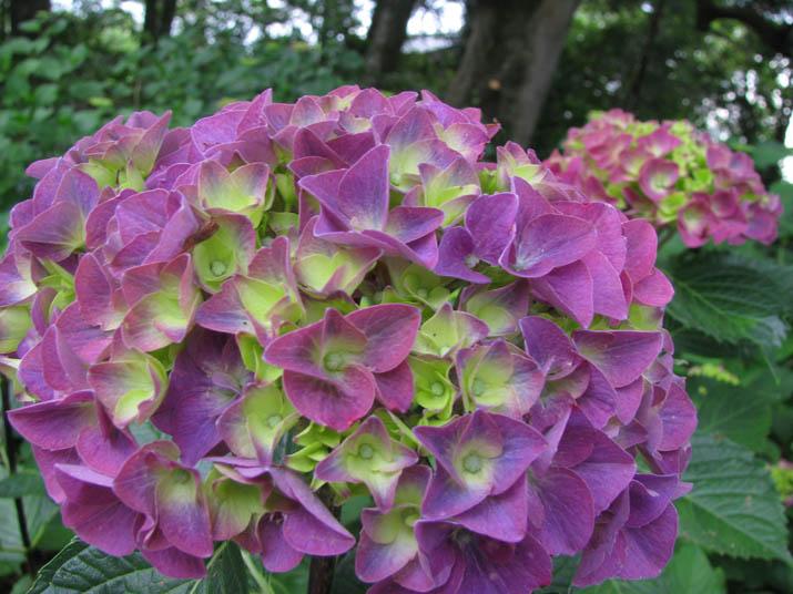 120608 紫色の紫陽花.jpg