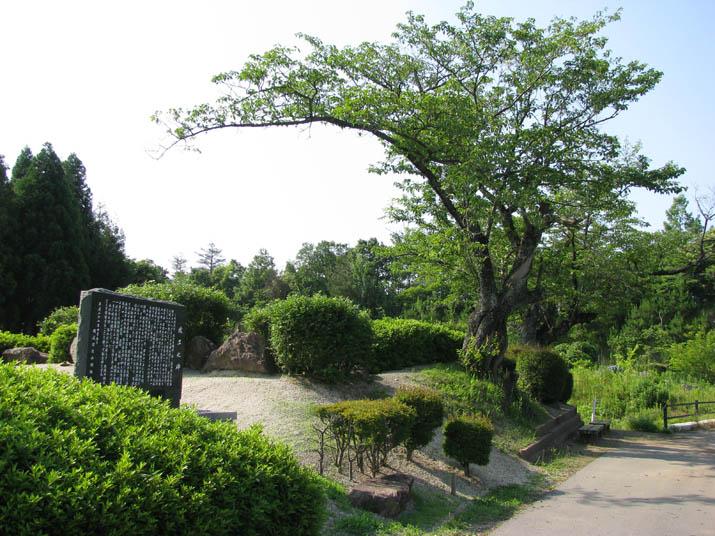 120614 桜の老木.jpg
