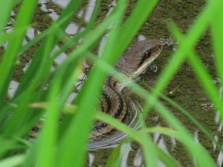 120705 水田のシマヘビ.jpg