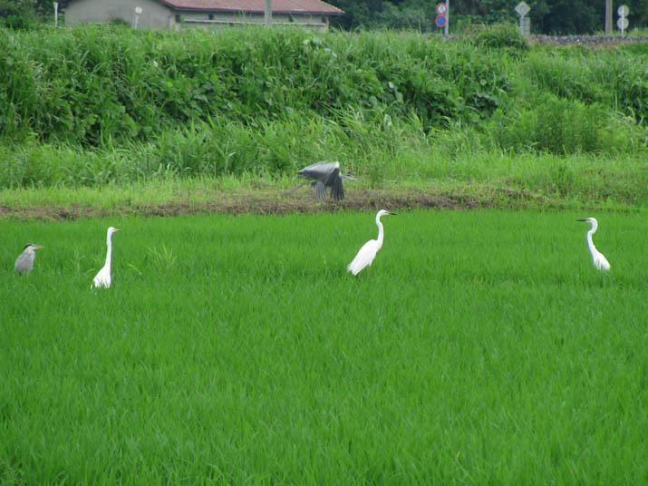 120705 水田にいる鷺の群れ.jpg