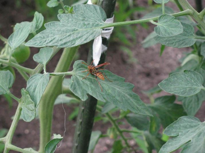 120706 トマトの葉と蜂.jpg