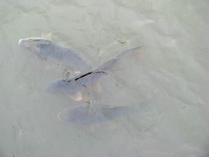 120707 水路の魚.jpg