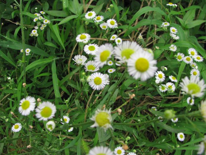 120714 小さな白い花.jpg