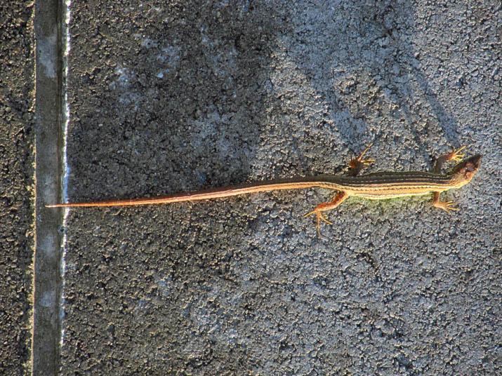 120822 シッポの長いカナヘビ.jpg