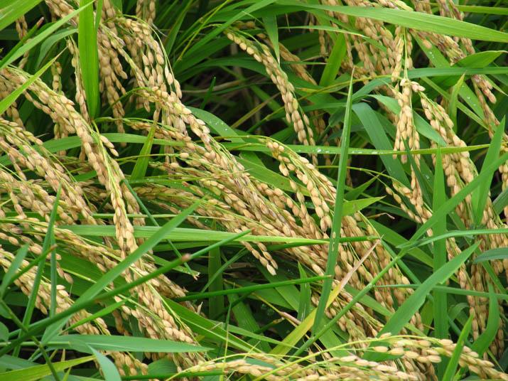 120911 黄金色に実る稲.jpg