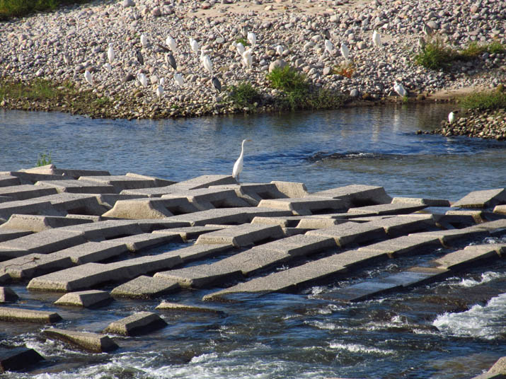 121013 日野川の野鳥.jpg