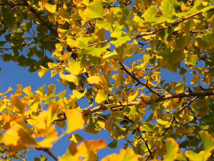 121026 イチョウの黄葉.jpg