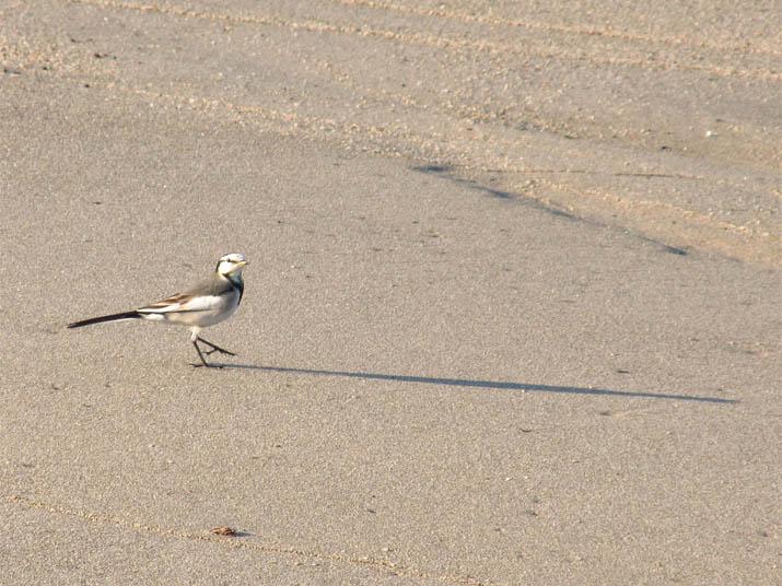 121108 砂浜の野鳥.jpg