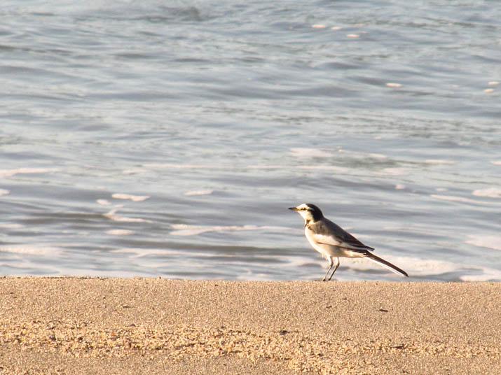 121108 砂浜のハクセキレイ.jpg