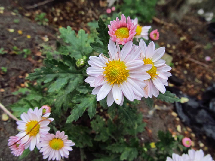 121109 菊の開花.jpg