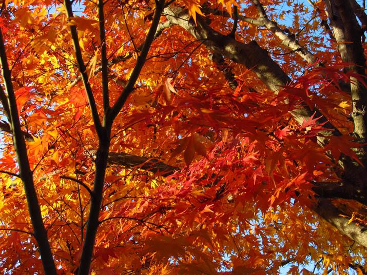 121126 楓の木.jpg
