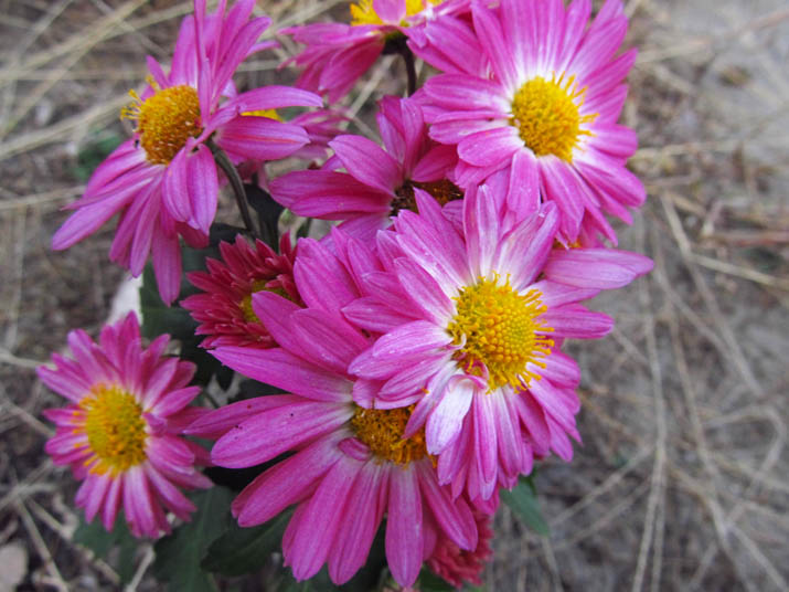 121129 赤紫の菊.jpg